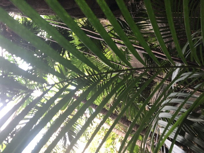 Dypsis-lutescens-Areca-Palm